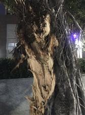 危险,大树断了半棵,请相关部门尽快处理倒地的大树