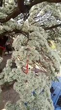 莱阳转曲莲村的流苏树