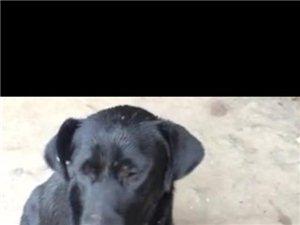 爱狗丢了。希望能找到。黑色拉布拉多。