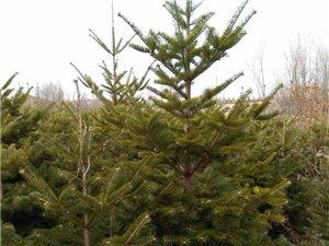 冷杉树低价出售