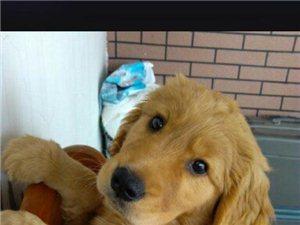 纯种金毛犬