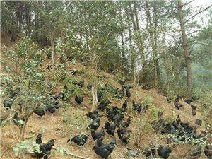 散养五黑鸡,欢迎来电