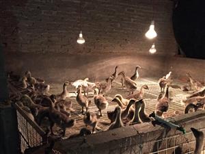 马冈鹅,汕头獅头鹅,五黑鸡