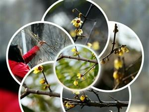 达活泉公园几株腊梅绽放黄色的花朵
