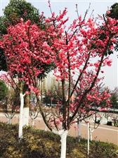 桃花开了……春真的来了……