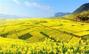 又快到一年一度的赏油菜花盛开的季节,最美