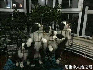 純種邊牧幼犬出售