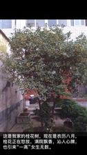 一棵桂花树和一棵香樟树出售