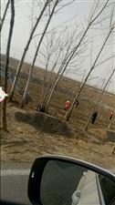 三河湖镇镇政府为了绿化面子工程大肆破坏返青的麦田
