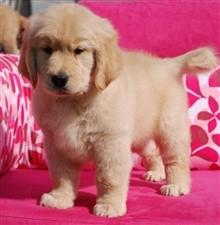 出售阿拉斯加哈士奇拉布拉多金毛萨摩耶泰迪博美幼犬