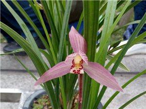 春剑新红花