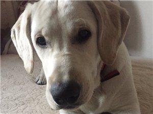 狗狗丢失,如果有看到了,请联系18795817551