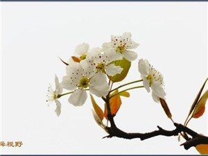 阳信梨花开......