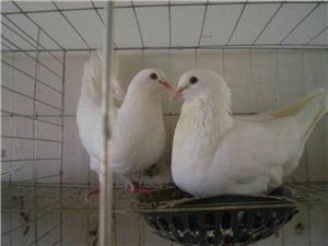 肉鸽出售:电话题15693806715