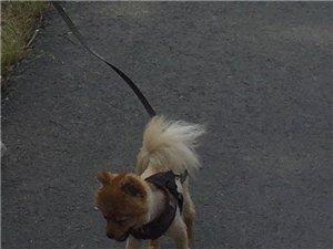 寻狗~博美