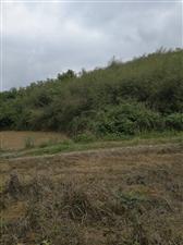 农村山上的野竹笋又吃的了