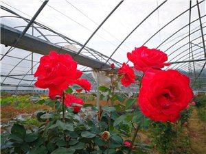 岭下玫瑰花园争相斗艳