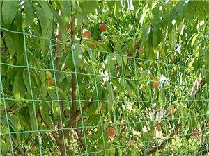 桃园有桃子卖,没有打过农药桃子绿色食品:!地址新农村大门向西走过铁路麦豆粮种场西南角就能看到果园了