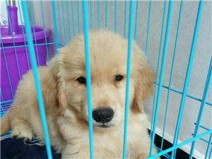 二个多月金毛幼犬,品相好,疫苗做齐,有意者可留下联系方式