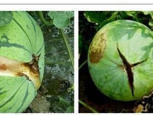 西瓜为什么会出现空心和裂瓜?