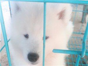 出两只萨摩耶犬,已疫苗驱虫一次。两个多月