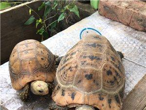 560元出售一只爱龟(大的)