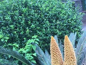 铁树开双花-罕见