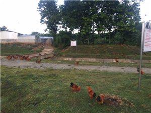 农村创业小伙山上散养鸡
