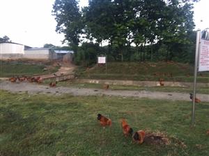 农村创业小伙山上散养是你自己不珍惜鸡