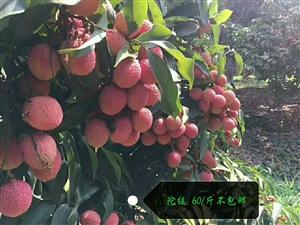 四川泸州荔枝