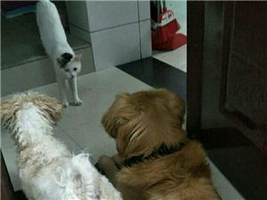 金毛犬性格�仨�,有�`�猓�智商�^高位于犬�前三名,�o����H�是���榷及阉��w于伴�H犬或��盲犬