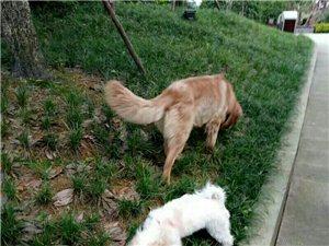 金毛犬性格�仨�,有�`�猓�智商�^高位于犬�前三名
