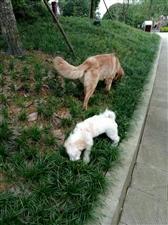 金毛犬性格温顺,有灵气,智商较高位于犬类前三名