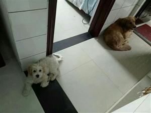 金毛犬性格温顺,有灵气,智商较高位于犬类前三名,无论国际还是国内都把它归于伴侣犬或导盲犬