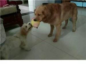 金毛犬性格�仨�,有�`��,智商�^高位于犬�前三名,�o����H�是���榷及阉��w于伴�H犬或��盲犬