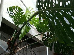 一棵种了三十年的龟背竹,当时只有三片叶,现拍几张图片供朋友观赏一下!