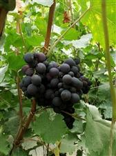 在文殊镇冯家沟村委会南的一大棚发现一种口味很独特的葡萄,也不知道是什么品种?