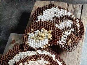 出售活的馬蜂蛹