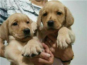 各种名犬出售