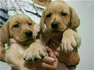 各种名犬出售15881952521微信同