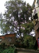 专砍伐危险大树死树联?#31561;?#24464;书火