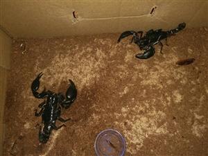 有谁要雨林蝎的?一分米的蝎子。