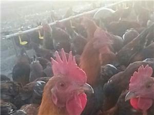 本人有红公鸡即将出售,有要买的火速预定中