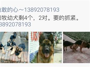 3��多月德牧幼犬出售