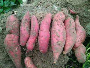 红薯大丰收