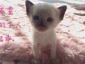 自家纯种暹罗猫夫妻生的宝宝出售