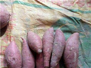 我家的红薯质量杠杠的,打窑,蒸,煮,烤口