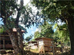会东人在老挝