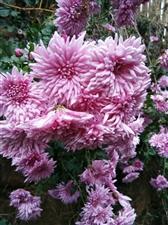 我家的菊花,好看吗?