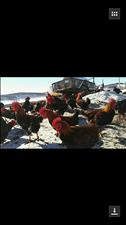 出售散养红公鸡。绿色食品品质保证。有需要